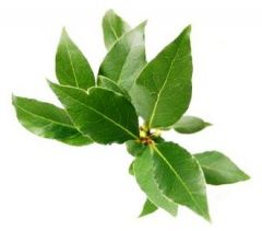 Bay Leaves_Alloro - BUNCH